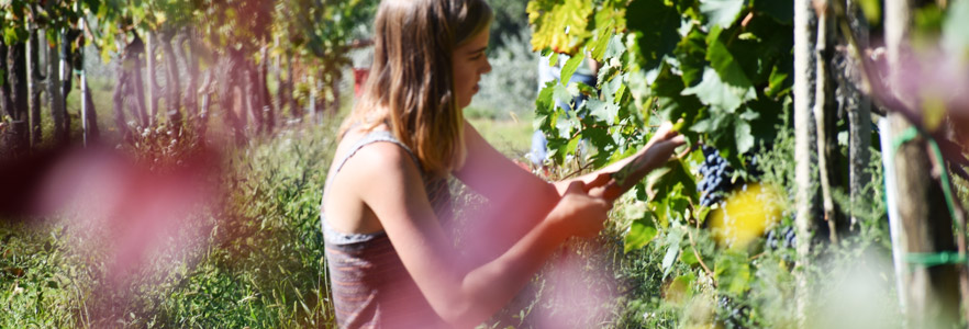 student harvesting grapes