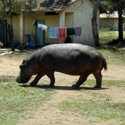 A hippo in the village
