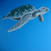 A mural painting of a sea turtle swimming in deep blue waters.