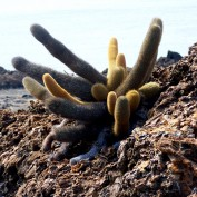 A cactus growing from the tough volcanic rock of a newly formed island.
