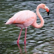 A bright pink flamingo wades through a stream.