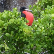 A male frigate bird sits in a leafy bush. He is a big, glossy black bird with a long, hooked beak. From under his chin he is puffing out a big balloon of bright red skin.