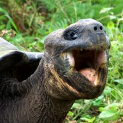 A laughing giant tortoise.