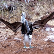 A male booy courting a female. he stands with his wings outstretched, trying to impress her.