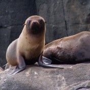 Two sea lions on a rock. One is curled up in a brown ball, while the other looks towards the camera, resting on its flippers.